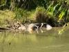 Crocodile d\'eau salée