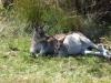 Maman kangourou et son petit dans la poche
